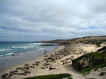 Seals on the beach, San Nicolas Island, CA